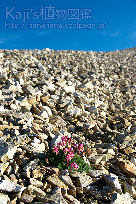 2011年8月15日 撮影 - 白馬岳 礫地にポツンとコマクサが一株・・周囲にはほかの植物はなかったです