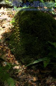 コケイラン
